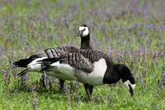 Barnacle Geese in meadow Royalty Free Stock Photo