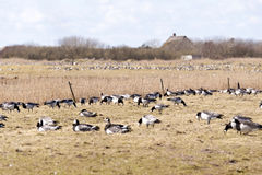 Barnacle Geese Stock Photography
