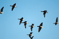 Barnacle Geese Royalty Free Stock Photos