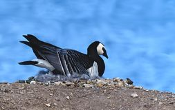 Barnacle goose Royalty Free Stock Image