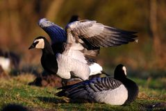 Barnacle Goose Stock Photography