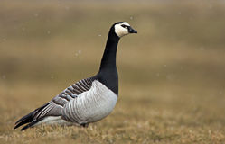 Barnacle Goose Royalty Free Stock Images