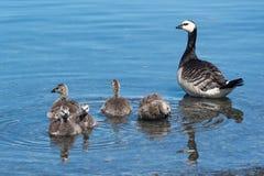 Free Barnacle Goose Royalty Free Stock Photos - 60821498