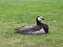Barnacle goose Stock Photos