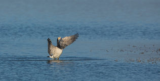 A Barnacle Goose beating its wings Royalty Free Stock Photo