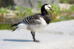 Barnacle Goose Stock Image