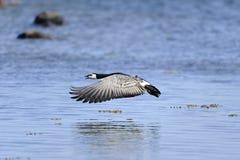 Barnacle goose, branta leucopsis Royalty Free Stock Image