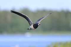 Barnacle goose, branta leucopsis Stock Photography