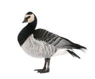 Barnacle Goose - Branta leucopsis (+/- 18 mlonths) Royalty Free Stock Images