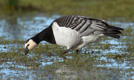 Barnacle Goose (Branta leucopsis) Stock Images
