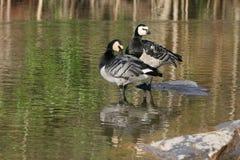 Barnacle Goose - Branta leucopsis. Two Barnacle Geese in the lake Stock Image