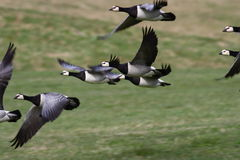 Barnacle Goose - Branta Leucopsis Stock Photos