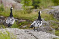 Barnacle goose Branta leucopsis. Bird watching in Finland. Wil Royalty Free Stock Photos