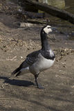 Barnacle goose, Branta leucopsis is common goose Stock Photos