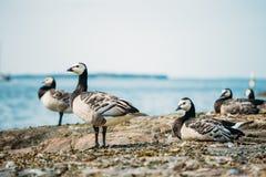 Barnacle Goose, Branta Leucopsis, Feral Goose On Royalty Free Stock Images