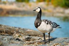 Barnacle Goose, Branta Leucopsis, Feral Goose On Royalty Free Stock Photos