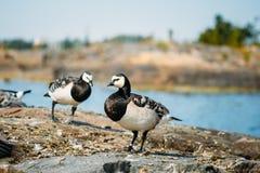 Barnacle Goose, Branta Leucopsis, Feral Goose On Stock Photos