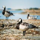 Barnacle Goose, Branta Leucopsis, Feral Goose On Royalty Free Stock Photography