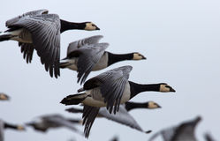 Group off Barnacle goose. Barnacle goose (Branta Leucopsis) in flight Stock Image