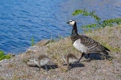 Barnacle Goose Branta leucopsis Royalty Free Stock Images