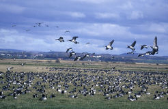 Barnacle goose, Branta leucopsis Stock Photo