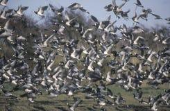 Barnacle goose, Branta leucopsis Royalty Free Stock Photography