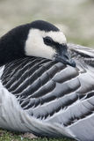 Barnacle goose, Branta leucopsis Royalty Free Stock Photography