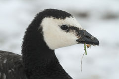 Barnacle Goose Branta leucopsis headshot, with a backdrop of snow and a beak of grass and snowflakes. Stock Images