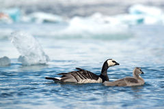 Barnacle Goose Stock Photos