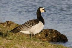 Barnacle Goose - Branta leucopsis - at Pyrénées-Orientales, France stock photography