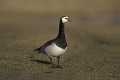 Barnacle goose, Branta leucopsis Stock Photos