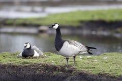 Barnacle goose, Branta leucopsis Stock Images
