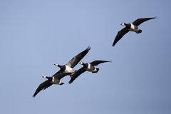 Barnacle goose, Branta leucopsis Royalty Free Stock Photos