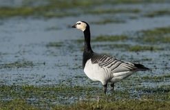 Barnacle Goose & x28;Branta leucopsis& x29; on Wetland royalty free stock images