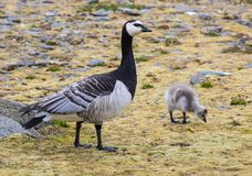 Barnacle goose with chicks - Arctic, Spitsbergen Royalty Free Stock Photos
