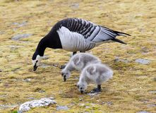 Barnacle goose with chicks - Arctic, Spitsbergen Stock Image