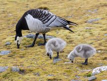 Barnacle goose with chicks - Arctic, Spitsbergen Royalty Free Stock Photo