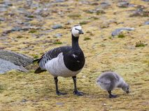 Barnacle goose with chicks - Arctic, Spitsbergen Royalty Free Stock Photography