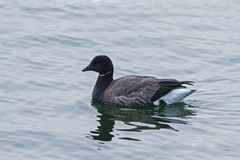 Brent goose drifting on the sea Stock Photo