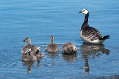 Barnacle Goose Royalty Free Stock Photos