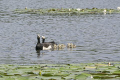 Barnacle goose family Royalty Free Stock Image