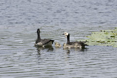 Barnacle goose family Royalty Free Stock Photo