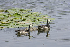 Barnacle goose family Royalty Free Stock Photos