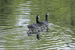 Barnacle goose family Royalty Free Stock Photography