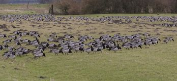 Sheep on a on the Elbe riverbarnacle goose at ferryman sand in Wedel near Hamburg royalty free stock photography