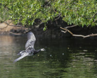 Barnacle Goose in flight Royalty Free Stock Photos