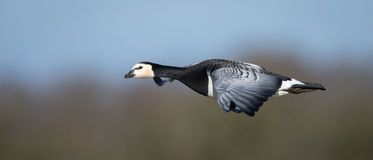 Barnacle Goose in Flight Royalty Free Stock Images