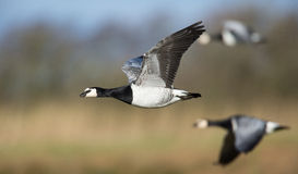 Barnacle Goose in Flight Stock Images