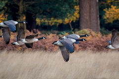 Barnacle Goose. Flock of geese flying through forest on autumn migration. Royalty Free Stock Photos