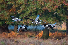 Barnacle Goose. Flock of geese flying through forest in autumn migration. Royalty Free Stock Photography